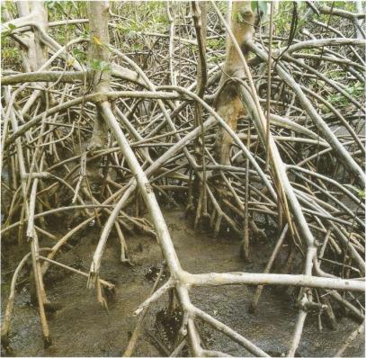 Nils Udo Dans les mangroves Tryptique part3 Résidence du FRAC Martinique 1991