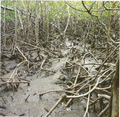 Nils Udo Dans les mangroves Tryptique part1 Résidence du FRAC Martinique 1991